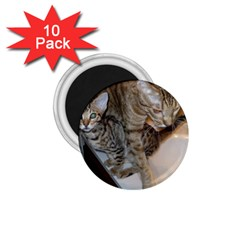 Ocicat Tawny Kitten With Cinnamon Mother  1.75  Magnets (10 pack)