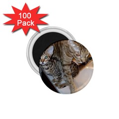 Ocicat Tawny Kitten With Cinnamon Mother  1.75  Magnets (100 pack)