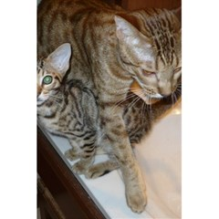 Ocicat Tawny Kitten With Cinnamon Mother  5.5  x 8.5  Notebooks