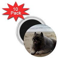 Keeshond On Beach  1.75  Magnets (10 pack)