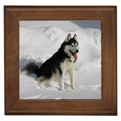 Siberian Husky Sitting in snow Framed Tiles