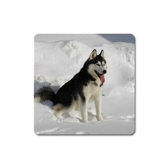 Siberian Husky Sitting in snow Square Magnet