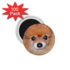 Pomeranian 1.75  Magnets (100 pack)