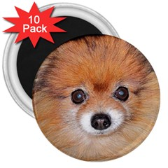 Pomeranian 3  Magnets (10 pack)