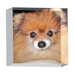 Pomeranian 5  x 5  Acrylic Photo Blocks