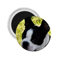 Boston Terrier Puppy 2.25  Magnets
