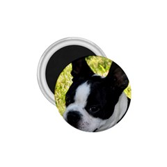 Boston Terrier Puppy 1.75  Magnets