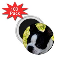 Boston Terrier Puppy 1.75  Magnets (100 pack)