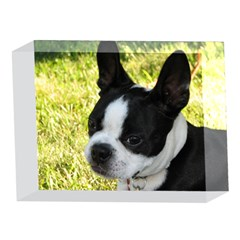 Boston Terrier Puppy 5 x 7  Acrylic Photo Blocks