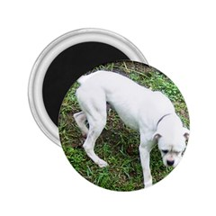 Boxer White Puppy Full 2.25  Magnets