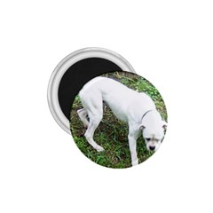 Boxer White Puppy Full 1.75  Magnets
