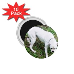 Boxer White Puppy Full 1.75  Magnets (10 pack)