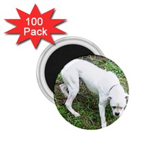 Boxer White Puppy Full 1.75  Magnets (100 pack)