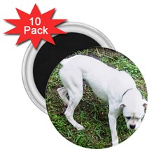 Boxer White Puppy Full 2.25  Magnets (10 pack)