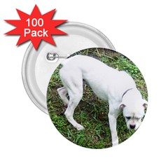 Boxer White Puppy Full 2.25  Buttons (100 pack)
