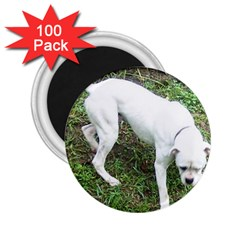 Boxer White Puppy Full 2.25  Magnets (100 pack)