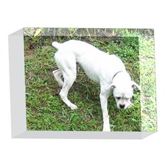 Boxer White Puppy Full 5 x 7  Acrylic Photo Blocks