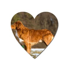 Duck Toller Full Heart Magnet