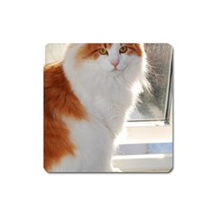 Norwegian Forest Cat Sitting 4 Square Magnet
