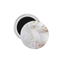 Orchids Flowers White Background 1 75  Magnets
