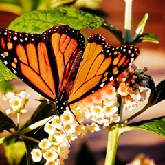Monarch Butterfly Nature Orange Magic Photo Cubes