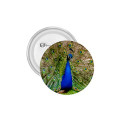 Peacock Animal Photography Beautiful 1.75  Buttons