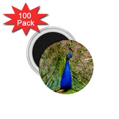 Peacock Animal Photography Beautiful 1 75  Magnets (100 Pack)