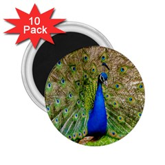 Peacock Animal Photography Beautiful 2.25  Magnets (10 pack)