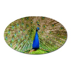 Peacock Animal Photography Beautiful Oval Magnet