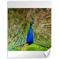 Peacock Animal Photography Beautiful Canvas 18  X 24
