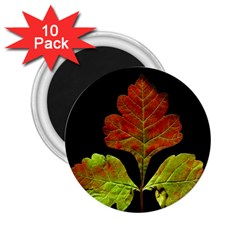 Autumn Beauty 2.25  Magnets (10 pack)