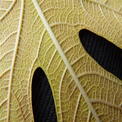 Yellow Leaf Fig Tree Texture Magic Photo Cubes