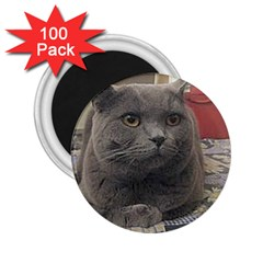 British Shorthair Grey 2.25  Magnets (100 pack)