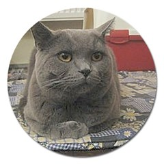 British Shorthair Grey Magnet 5  (Round)