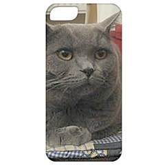 British Shorthair Grey Apple iPhone 5 Classic Hardshell Case