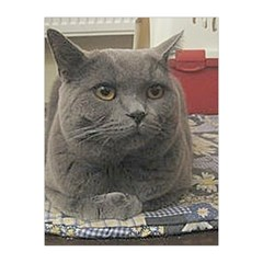 British Shorthair Grey Medium Tapestry
