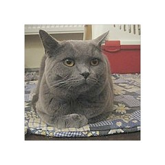 British Shorthair Grey Square Tapestry (Small)