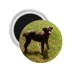 Red Doberman Puppy 2.25  Magnets
