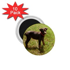 Red Doberman Puppy 1.75  Magnets (10 pack)