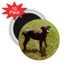 Red Doberman Puppy 2.25  Magnets (10 pack)