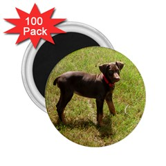 Red Doberman Puppy 2.25  Magnets (100 pack)