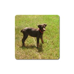 Red Doberman Puppy Square Magnet