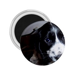 Black Roan English Cocker Spaniel Puppy 2.25  Magnets
