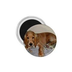 Red Cocker Spaniel Puppy 1.75  Magnets