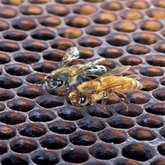 Worker Bees On Honeycomb Magic Photo Cubes