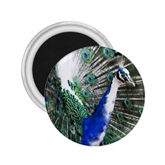 Animal Photography Peacock Bird 2 25  Magnets