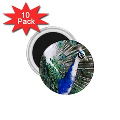 Animal Photography Peacock Bird 1 75  Magnets (10 Pack)