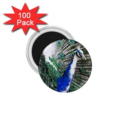 Animal Photography Peacock Bird 1.75  Magnets (100 pack)