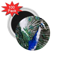 Animal Photography Peacock Bird 2 25  Magnets (100 Pack)