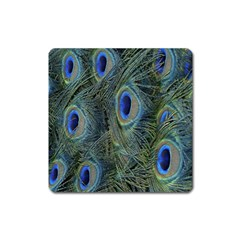 Peacock Feathers Blue Bird Nature Square Magnet